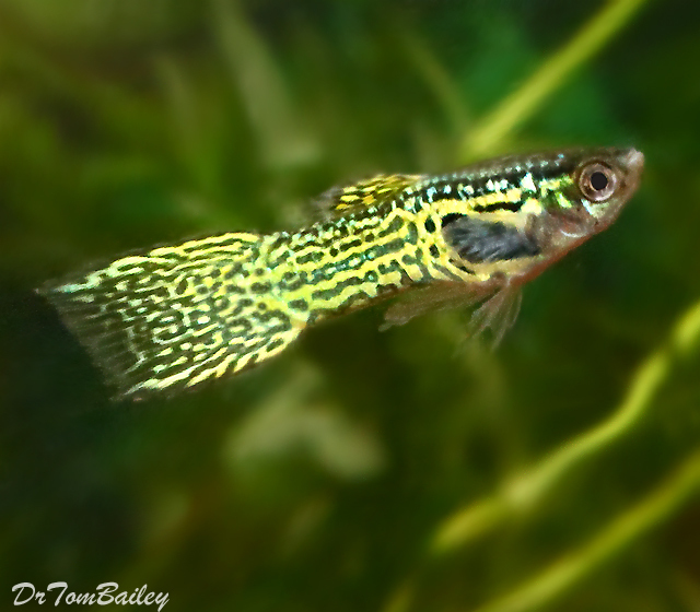 "Premium MALE Cobra Endler's Livebearer, Nano Fish, Size: 1"" to 1.2"""