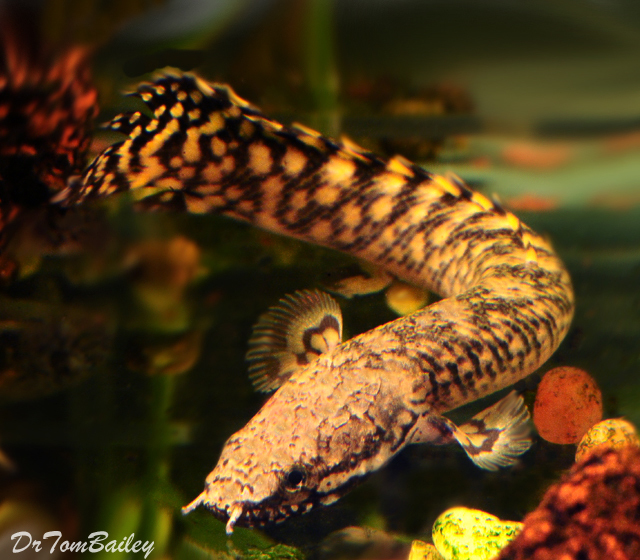 "Premium Rare Ornate Bichir, Size: 3"" to 3.5"""