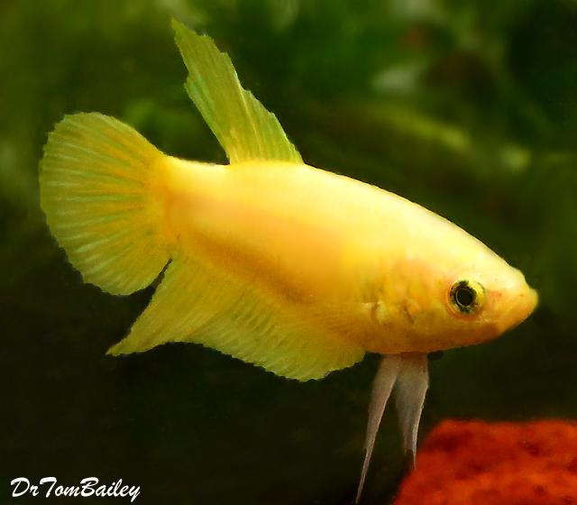 """Premium FEMALE Yellow Betta Fish, Size: 1"""" to 1.5"""""""