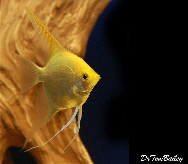 "Premium Gold Angelfish, Size: 2.5"" to 3"""