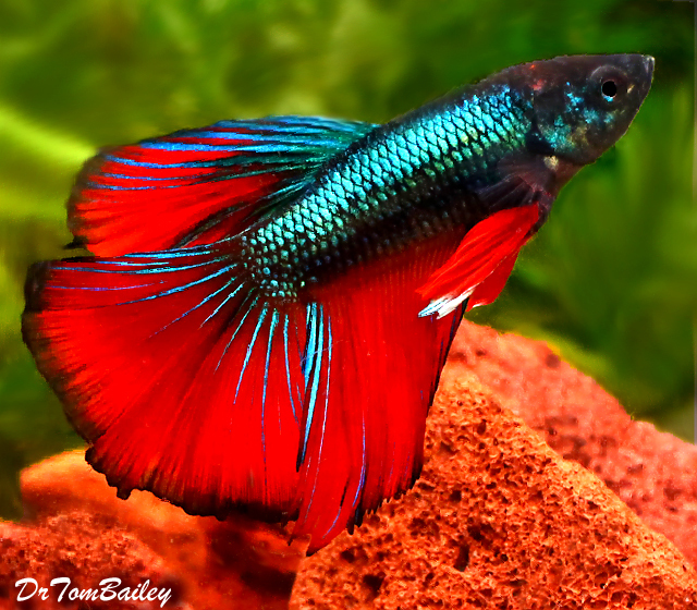 "Premium MALE Rare Unique Assorted Halfmoon Betta Fish, Size: 2"" to 2.5"""