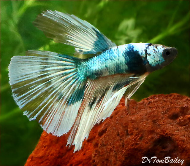 "Premium MALE Butterfly Halfmoon Betta Fish, Size: 2"" to 2.5"""