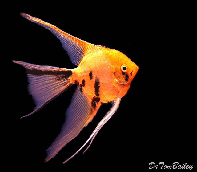 "Premium Gold Marbled Angelfish, Size: 2.5"" to 3"""