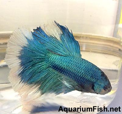 "Premium MALE Blue Halfmoon Betta Fish, Size: 2.5"" to 3"""