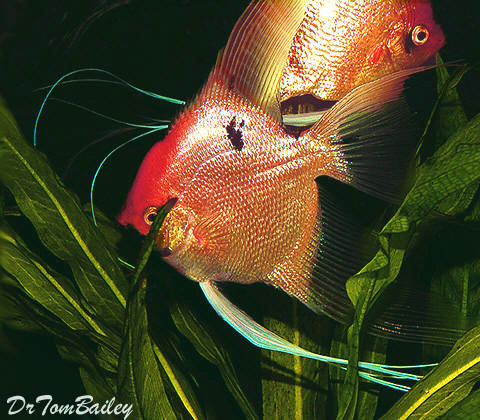 """Premium Gold Marbled Angelfish, Size: 3"""" to 3.5"""""""