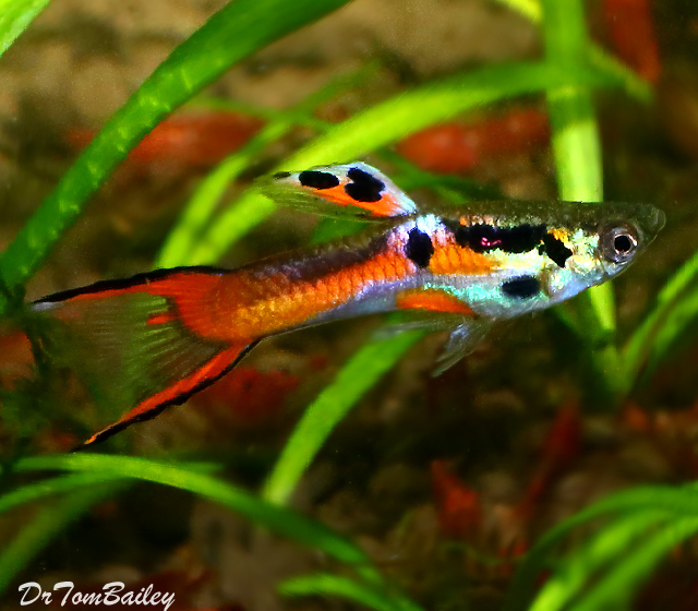 "Premium MALE Endler's Livebearer, Nano Fish, Size: 0.75"" to 1"""