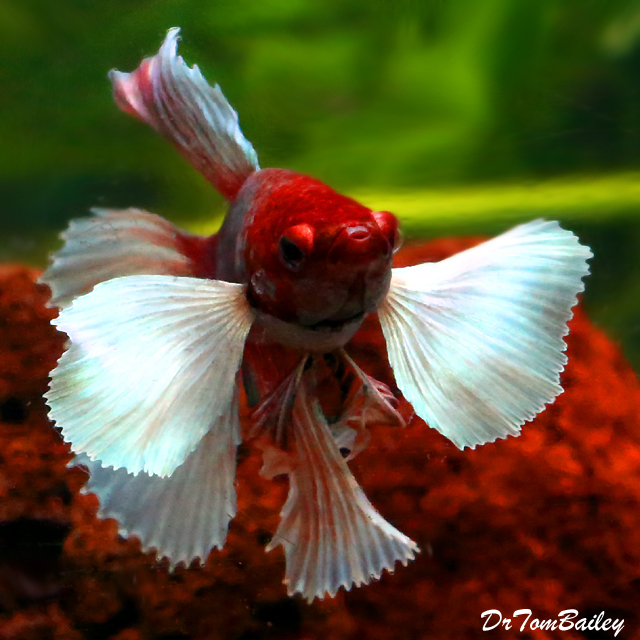 "Premium MALE Assorted Dumbo Ear Halfmoon Betta Fish, Size: 2"" to 2.5"""