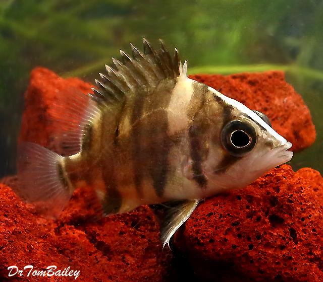 "Premium WILD, Indonesian Gold Tiger Datnioides, Size: 1"" to 1.5"""