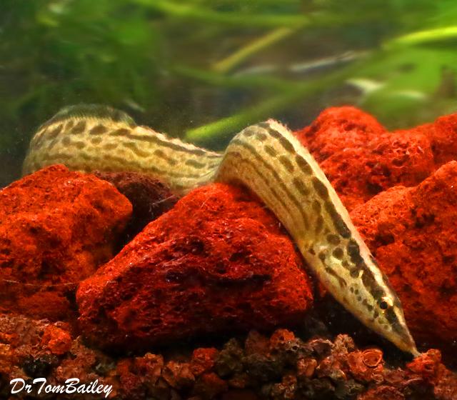 "Premium Freshwater Tiretrack Eel, Size: 8"" to 10"""