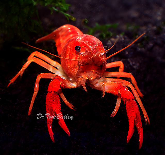 "Premium Freshwater Red Crayfish, Size: 2.5"" to 3"""