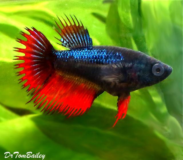 "Premium FEMALE Rare Assorted Colors Unique Crowntail Betta Fish, Size: 1"" to 1.5"""
