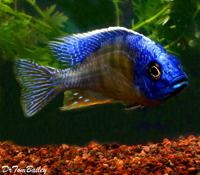 "Premium MALE Lake Malawi Taiwan Reef Haplo Cichlid, Size: 3.5"" to 4"""