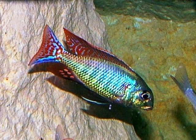 "Premium Rare Lake Malawi Red Cap Lethrinops Sandsifter Cichlid, Size: 3.5"" to 4"""