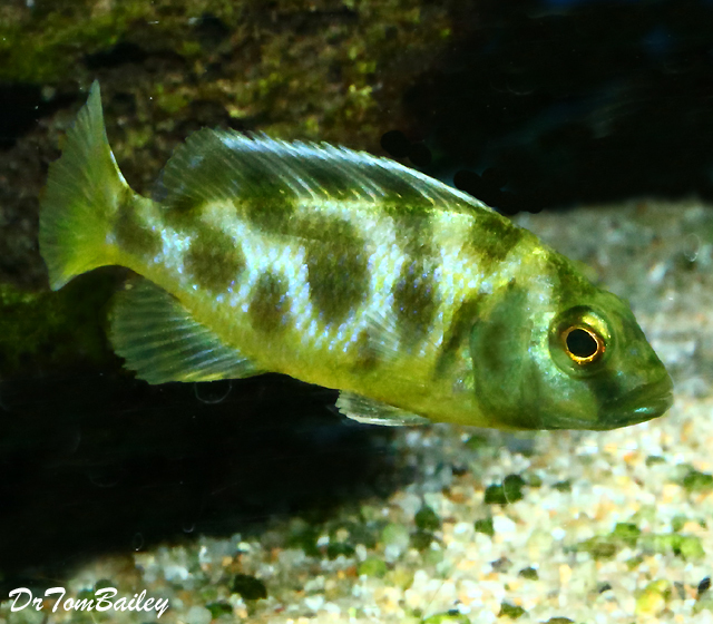 "BABY Lake Malawi Venustus Haplo Cichlid, 1"" to 1.5"" long."