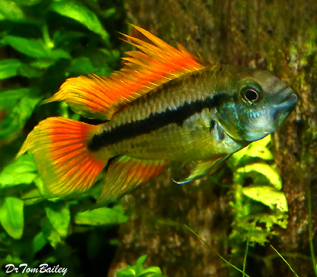 "Premium Cockatoo Dwarf Apistogramma, Orange Flash, Size: 0.75"" to 1"""