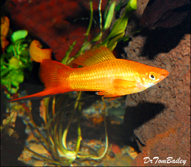"Premium Marigold Swordtail, Size: 1.5"" to 2"""