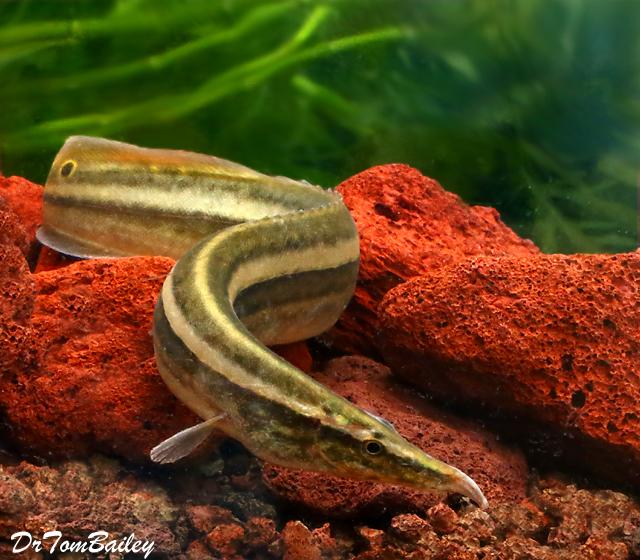 "Premium WILD, Rare One-Stripe Eel, Size: 6"" to 7"""