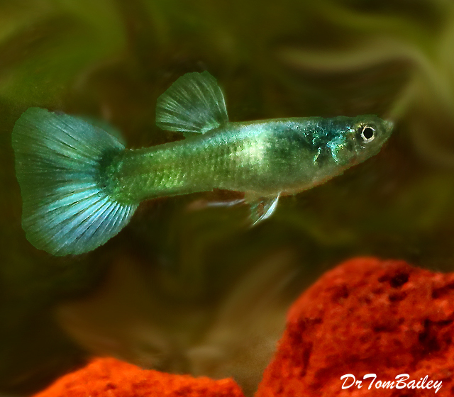 "Premium MALE Moscow Green Fancy Guppy, Size: 1"" to 1.5"""
