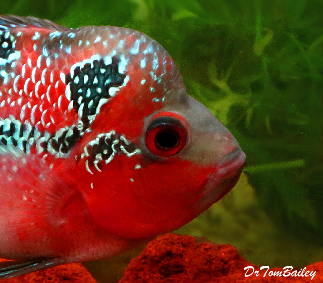 "Premium Rare Super Red Dragon Flowerhorn Cichlid, Size: 3.5"" to 4"""