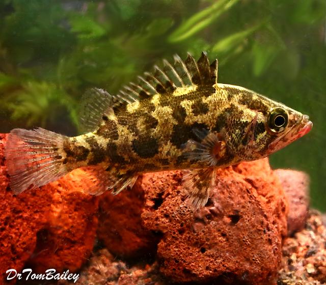 "Premium Rare Nandus Leaf Fish, Size: 1"" to 1.2"""