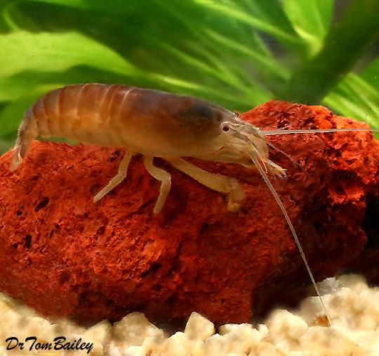 """Premium Rare Vampire Shrimp, Size: 1.5"""" to 2"""""""
