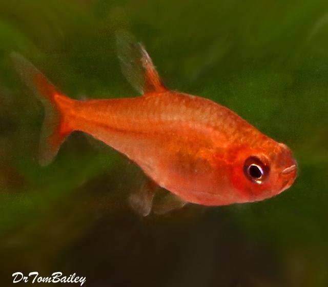 "Premium Ember's Tetra, Nano Fish, Size: 0.75"" to 1"""