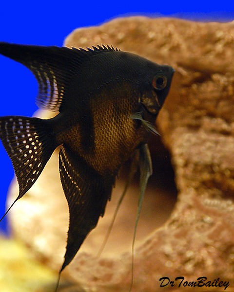 "Premium Black Angelfish, Size: 2"" to 2.5"""