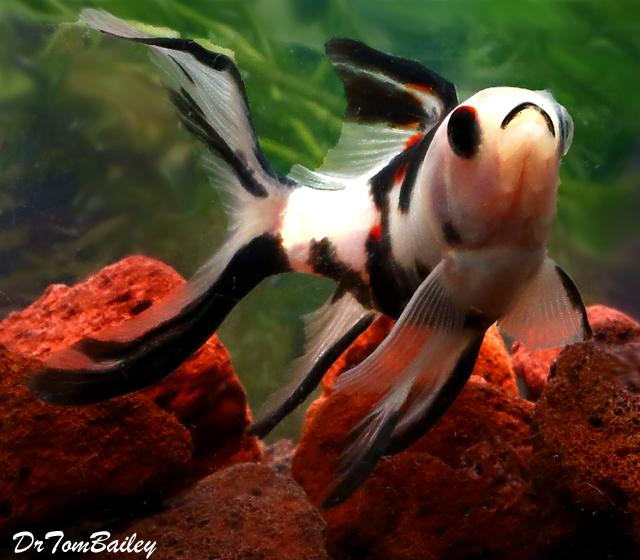 "Premium New and Very Rare, Panda Shubunkin Pond Comet Goldfish, Size: 3"" to 3.5"""