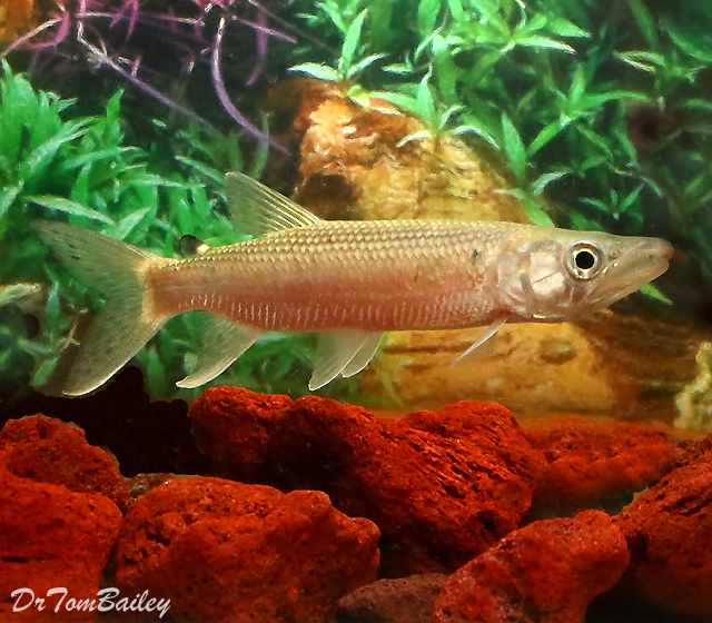 """Premium Rare and WILD, African Odoe Pike, Size: 3"""" to 3.5"""""""