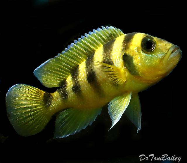 Premium Rare Lake Tanganyika Neolamprologus Sexfasciatus Golden Cichlid