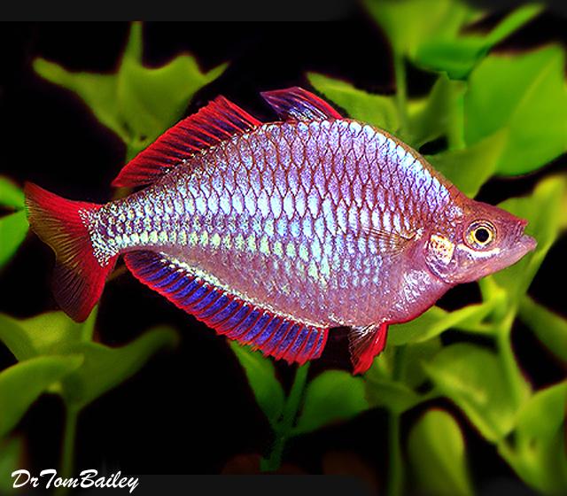 """Premium Neon Dwarf Rainbowfish, Size: 1"""" to 1.5"""""""