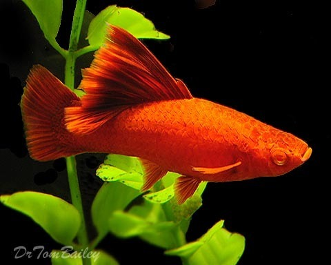 "Premium FEMALE, Rare Hifin Red-Eye Red Swordtail, Size: 2"" to 2.5"""