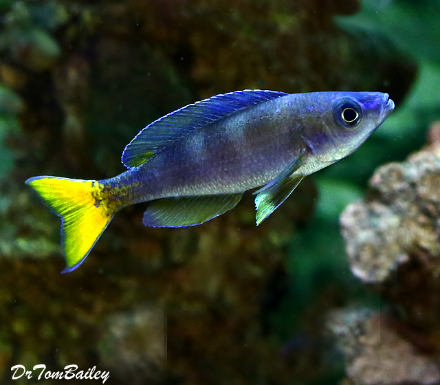 Premium MALE Lake Tanganyika Cyprichromis Leptosoma Cichlid