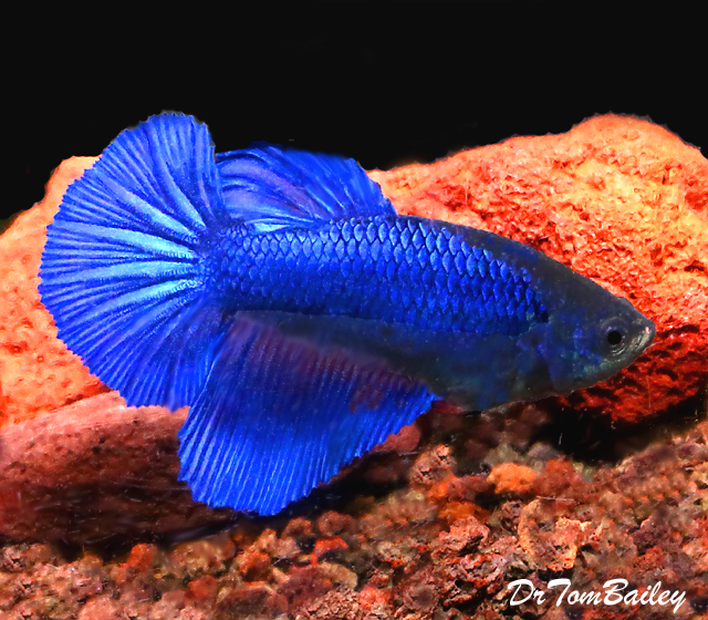 "Premium FEMALE Blue Halfmoon Betta Fish, Size: 1"" to 1.5"""