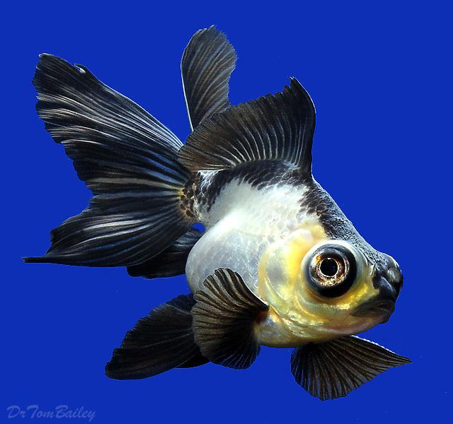 "Premium New Rare, Panda Butterfly-Tail Goldfish, Size: 1.5"" to 2"""
