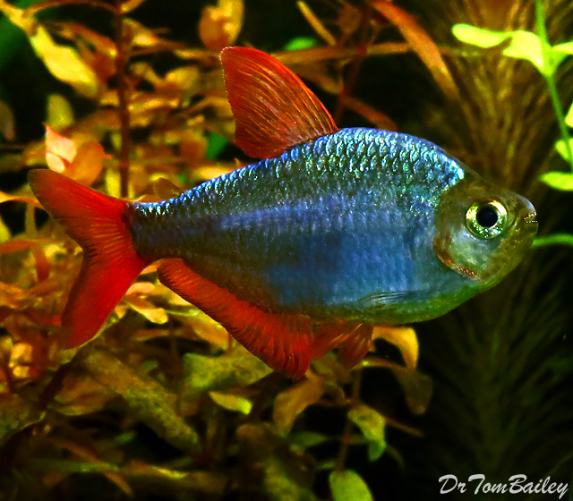 "Premium Blue Flame Tetra, also called a Columbian Tetra, Size: 1"" to 1.5"""