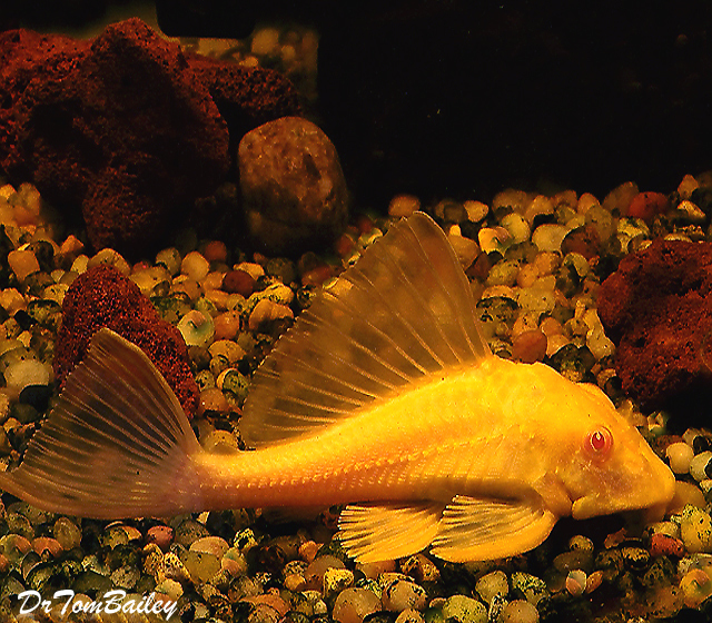 "Premium Red-Eye Gold Marbled Sailfin Pleco, Size: 2"" to 2.5"""