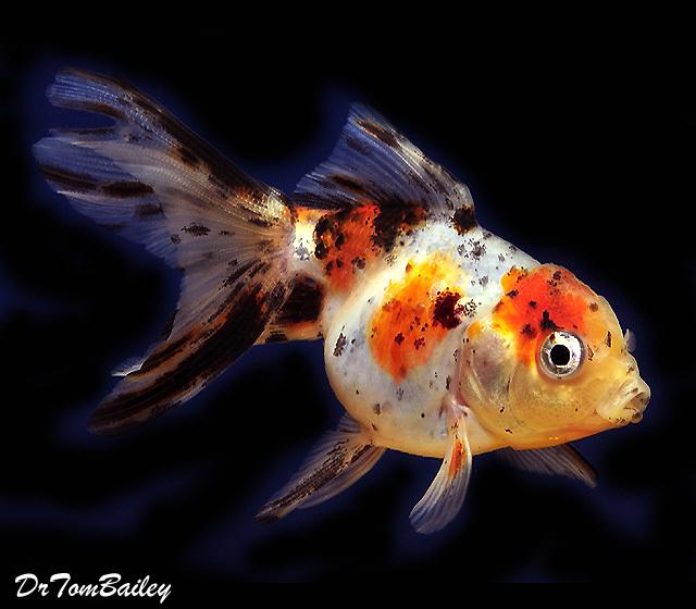 """Premium Calico Oranda Goldfish, Size: 3"""" to 3.5"""""""