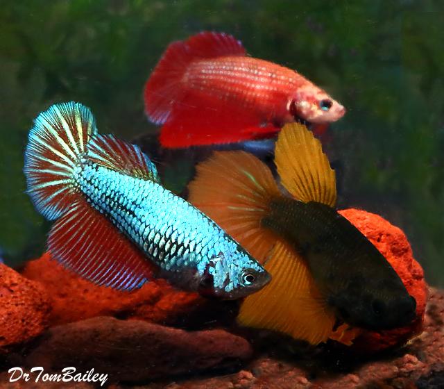 "Premium FEMALE Unique Rare Halfmoon Betta Fish, Size: 1"" to 1.5"""