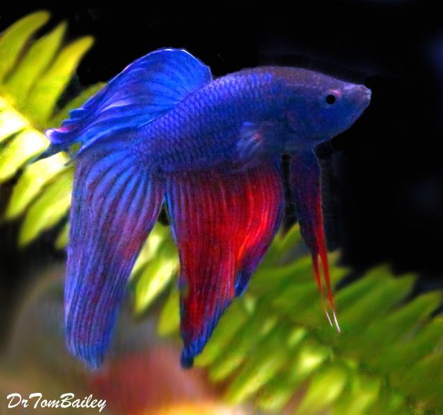 Premium MALE Blue and Red Betta Fish