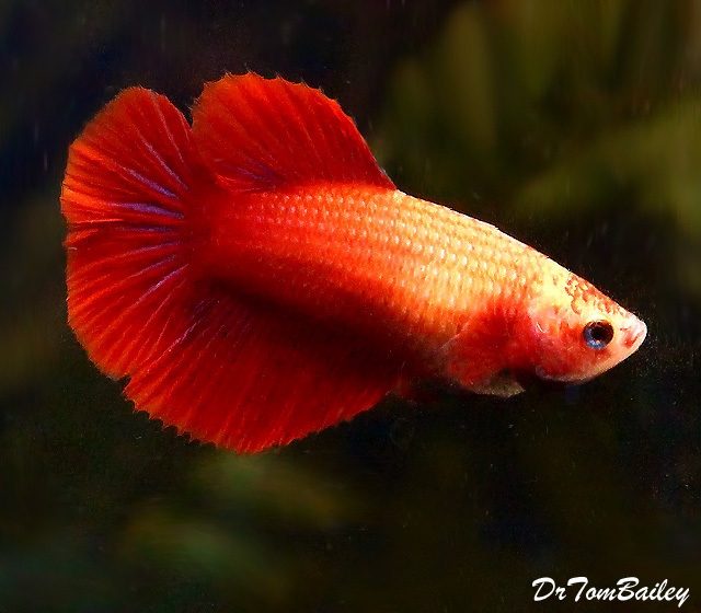 "Premium FEMALE Red Halfmoon Betta Fish, Size: 1.5"" to 2"""