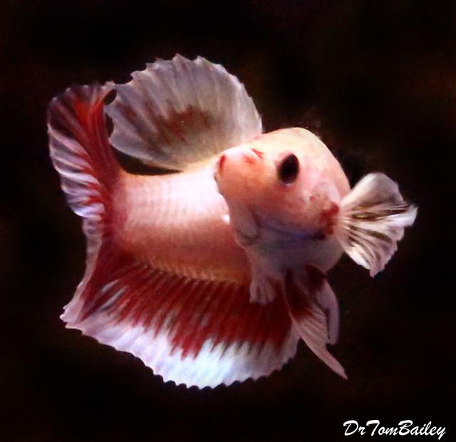 "Premium FEMALE Cambodian Butterfly Halfmoon Betta Fish, Size: 1.5"" to 2"""