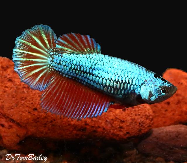 "Premium FEMALE Dragonscale Halfmoon Betta Fish, Size: 2"" to 2.5"""