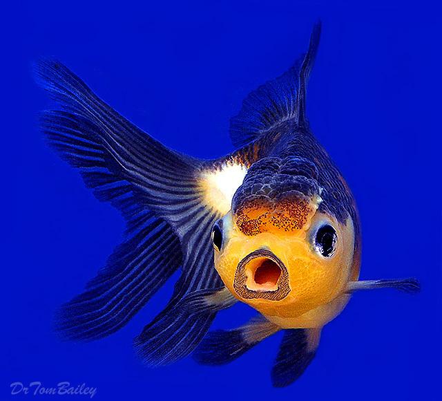 """Premium Rare Panda Oranda Goldfish, Size: 2"""" to 2.5"""""""
