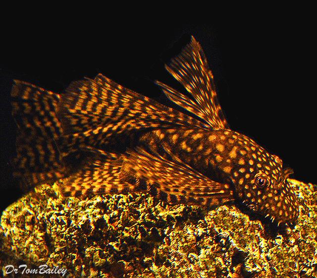 "Premium Chocolate Longfin Bushymouth Pleco, Size: 1"" to 1.2"""