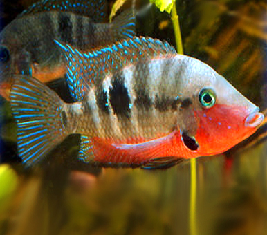 """Premium Firemouth Cichlid, Size: 3.5"""" to 4"""""""