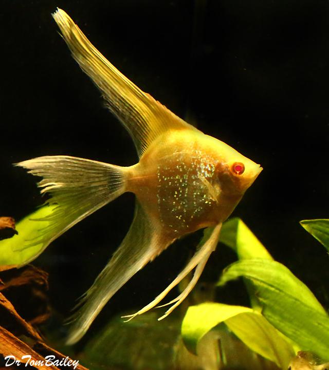 Premium Albino Veiltail Pearlscale Angelfish