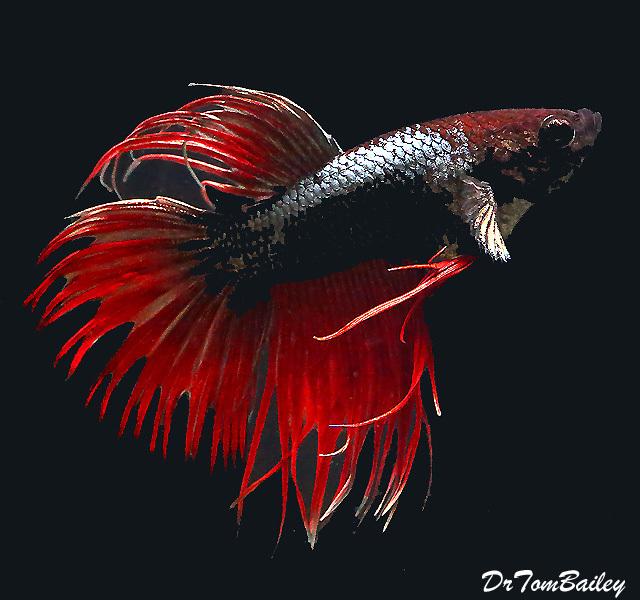 """Premium MALE Unique Crowntail Betta Fish, Size: 1.5"""" to 2"""""""