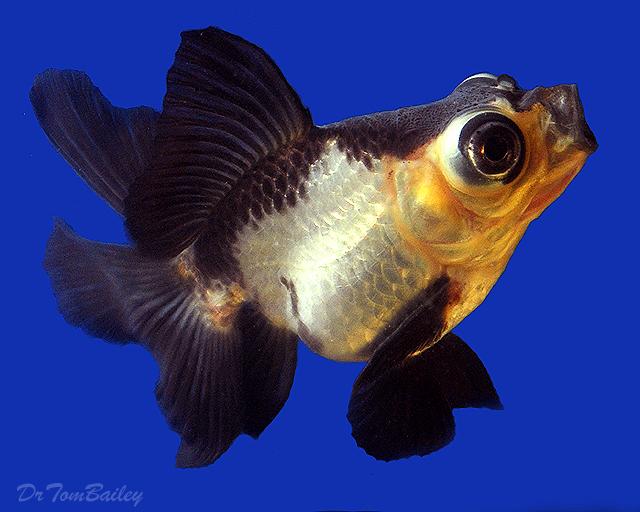 "Premium Rare Panda Butterfly-Tail Telescope-Eye Goldfish, Size: 3"" to 3.5"""