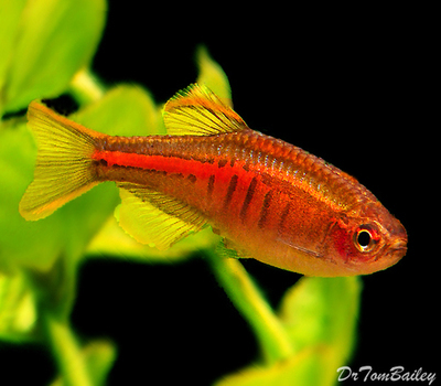 Premium New and Rare, Glowlight Danio, Nano Fish, Size: 1